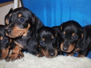 adorable mini dachshunds soon ready for their forever homes!