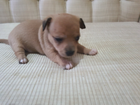 Jackawawa pups