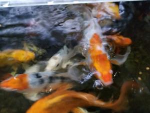 Poissons koï, carpe japonaise, poissons d étang