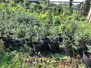 Blue spruce trees -  $10