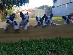 Frenchton Puppies