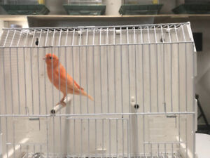 I am selling some of my canary