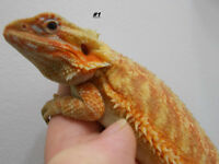 hypo translucides dragon barbu femelle///////bearded dragon