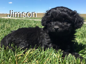 Bichon | Adopt Dogs & Puppies Locally in Alberta | Kijiji Classifieds