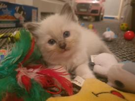 Ragdoll kittens full breed (ALL RESERVED)
