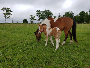 Wanted pasture for miniature horses