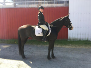 7-year-old Dressage Prospect