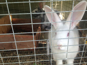 Must go!! Giant Flemish meat rabbits London Ontario image 4