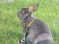 Lapin gris, poil court,  hypoallergène