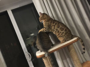 Rehoming Bengal