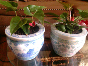 2 Anthurium plants in pretty glazed ceramic pots. Easy care.