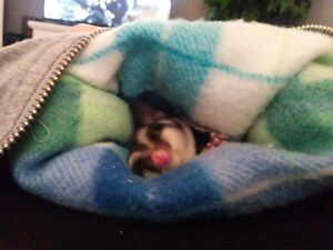 Two Male Sugar Gliders Looking for Forever Home Cambridge Kitchener Area image 8
