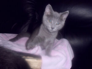 RUSSIAN BLUE BABIES READY  TEXT/CALL ONLY