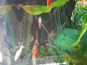 5 month old red velvet swordtail