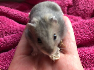 Agouti Winter White Dwarf Hamsters
