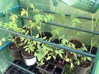Tomato Plants £1 each