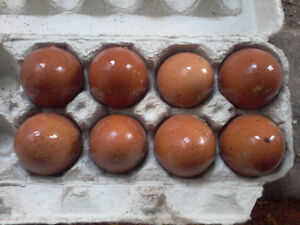 french copper black maran eggs