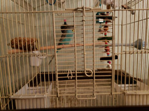 1 Blue Parakeet with cage