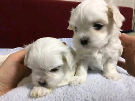 Korean Maltese puppies boy left