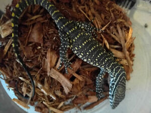 Baby Nile Monitor and Gold Tegu