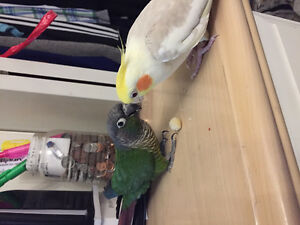 Cockatiel and Green Cheek Conure