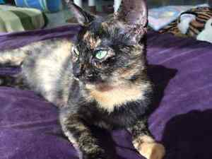 "Female young Tortie ""OCTORIA"" London Ontario image 1"