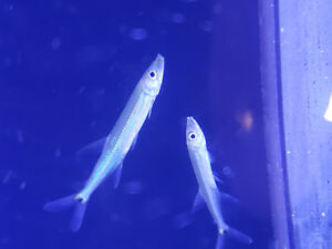 Red tail barracuda available at The Extreme Aquarium