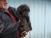 Wheaten Terrier/ german Shepherd Puppies