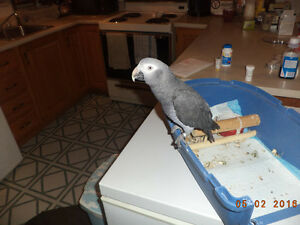 Gris D'afrique Avendre $1400  / African Grey For Sale $1400 NEG.