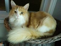 Male neutered Maine Coon
