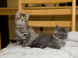 Female kittens looking for a good home