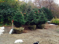 6 to 8 Ft. Black Hills Spruce Trees For Sale