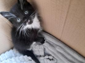 Black an white male kitten