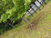 arracher un petit arbre d'erable rouge