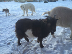 1 1/2 year old fainting goat buck he actually faints !!!!