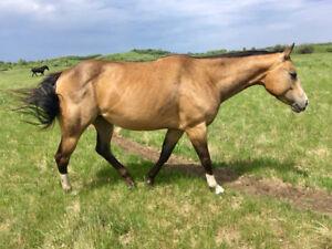2013 buckskin AQHA APHA mare
