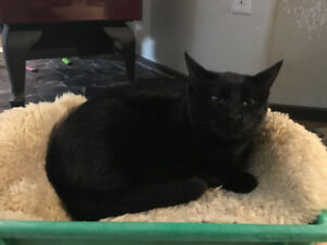 Sold pending pickup  Cat,  young Manx
