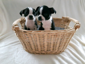 Female Boston Terrier Puppies