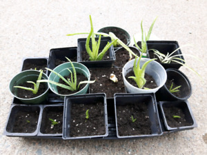ALOE VERA PLANTS & SPIDER PLANT FOR SALE, CHEAP!!!