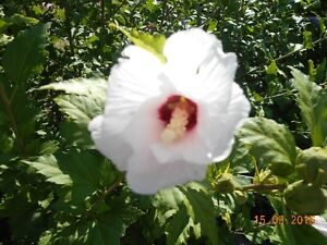 White Pink or Purple Rose of Sharon