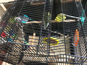 **MOVING SALE** 4 BUDGIES WITH CAGE