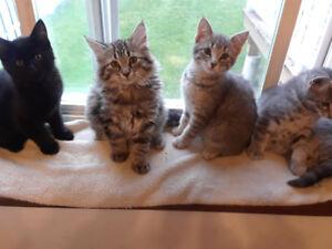 Adoptez un des 4 chatons pret à donner à Chicoutimi!