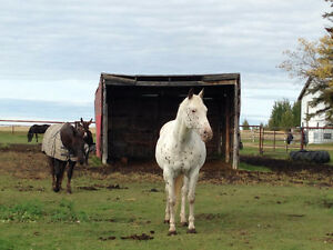 Horse Boarding Available South West of Edmonton Edmonton Edmonton Area image 8
