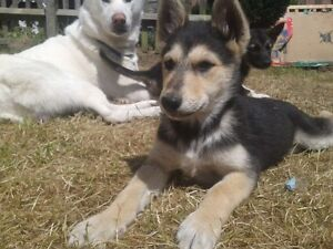Looking for a German Shepherd/Husky Puppy- will pay $300
