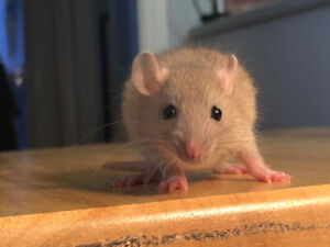 Baby Rats! Adorable Girls - Ready Now!!!!