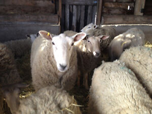 Flock of Sheep for sale