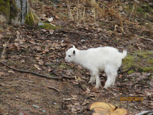 Pygmy Goats for sale $250.00 Each