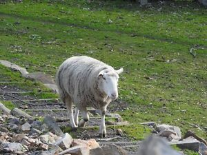 White Suffolk Ram - Good Breeder Blakiston Mount Barker Area Preview