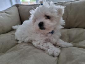Maltese puppies 💙Last Cute Boys💙 Ready Now