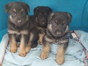 Chiots BERGER ALLEMAND pure race.